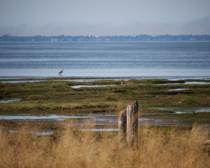 Great blue heron in Grays Harbor